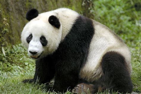 black panda black and white panda colors photo 34711822 fanpop