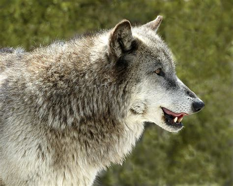 Smiling Wolf smiling wolf photograph by read