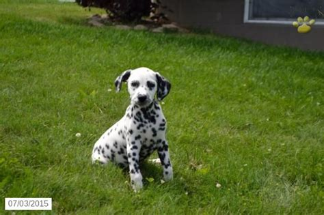 dalmatian puppies for sale in ohio 1000 ideas about dalmatian puppies for sale on dalmatian dogs miniature