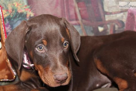 cheap doberman puppies for sale doberman pinscher puppies for adoption book covers