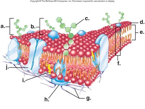 cell membrane labeled diagram biology gt cavallo gt flashcards gt biology midterm studyblue