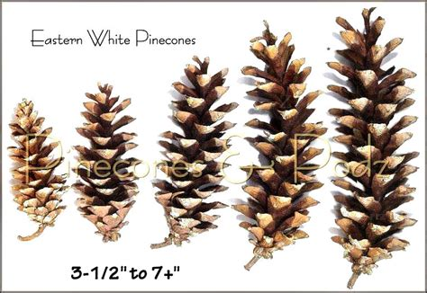 white pine cone eastern white pine cones at pinecones podz