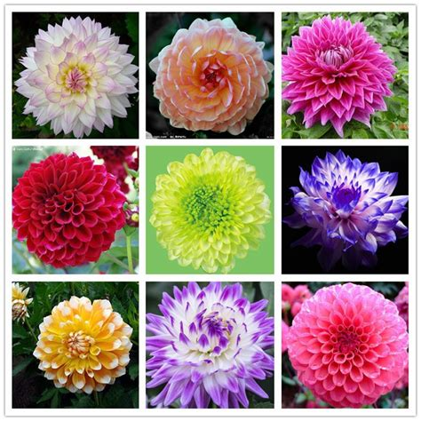 Sulap Five In One Flower dahlia gardening dahlia bonsai and seeds