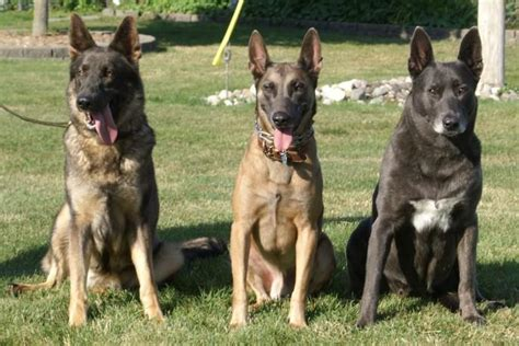 belgian malinois vs german shepherd belgian malinois vs german shepherd