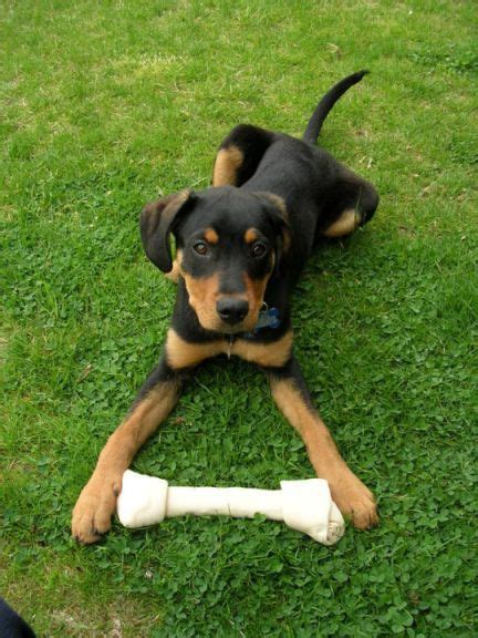 rottweiler doberman puppies rot and lab mized puppies mixed breed puppy what do you
