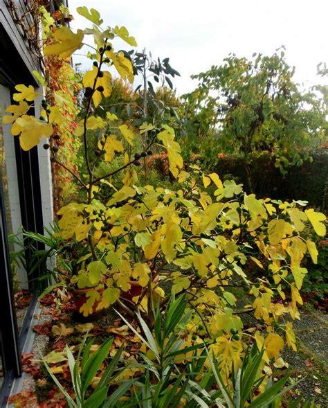 Pflanze Winterhart 2993 by Feigenb 228 Ume In Deutschland Seite 1 Winterharte