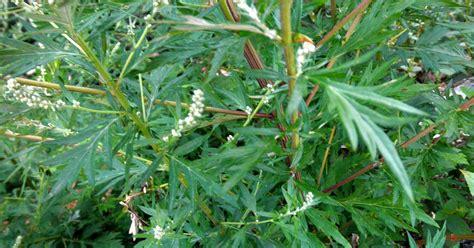 bagno con varicella bagno con artemisia per combattere la varicella 187 bloom