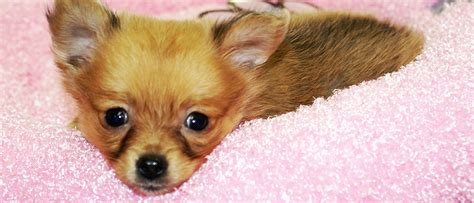 westchester puppies westchester puppies kittens licensed pet dealer