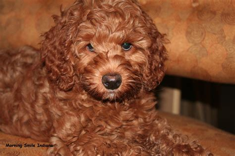goldendoodle puppy edmonton breed history
