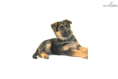 rocky mountain puppies puppies for sale from rocky mountain german shepherds nextdaypets