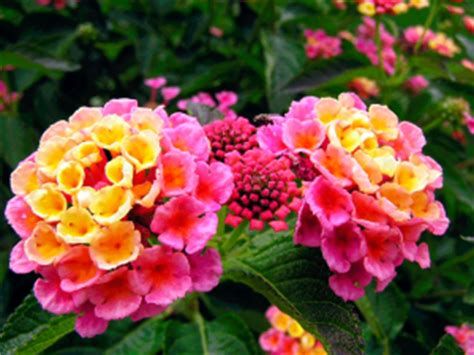 is lantana poisonous to dogs houseplants that are poisonous to our pets in from the garden