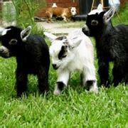 alimentazione tibetana pecora lacaune pecore e capre pecora lacaune info