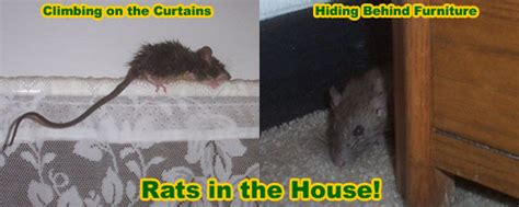 How To Get Rid Of Mice In Ceiling by Rat Removal From House Attic Ceiling Wall Building