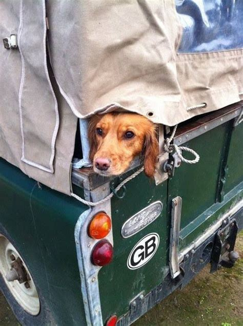land rover setter dog 120 best images about land rovers dogs on pinterest