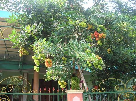 jenis pohon apa yang anda sukai untuk ditanam dirumah