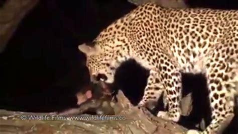 imagenes de jaguar bebe jaguar adopta a bebe chimpance youtube
