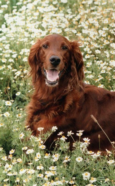 irish setter dog movie 20 best big red setter books images on pinterest