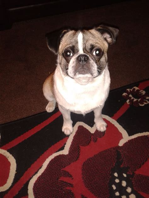 pug crossed with boston terrier pug cross boston terrier for sale must go asap billingham county durham pets4homes