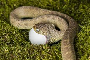 Boa Duvet Egg Eating Snake Ii Photograph By Mike Raabe