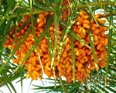 edible palm tree fruit palm tree fruit 1 by nancy l marshall