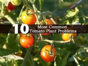 10 common tomato plant problems myideasbedroom com