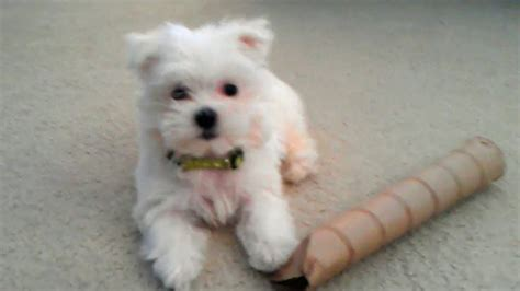 with puppies maltese puppy with empty paper roll things plainfield puppies
