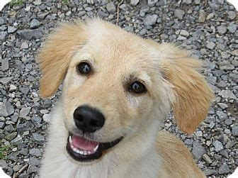 golden retriever rescue ny nj nanuet ny golden retriever sheltie shetland sheepdog mix meet rosemary a puppy