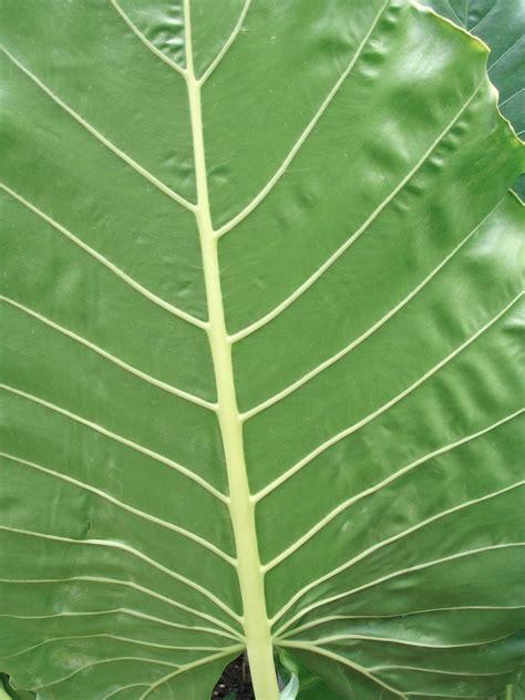 elephant ear plant add tropical interest   garden