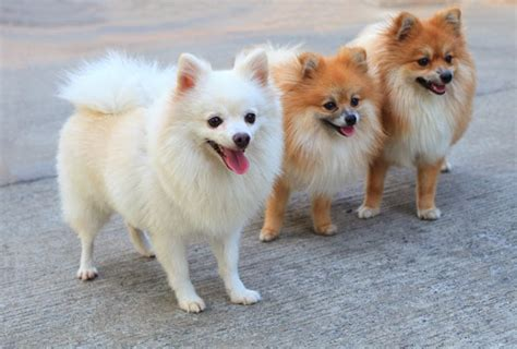 pomeranian symptoms pomeranian dogs puppies pet symptoms breeds