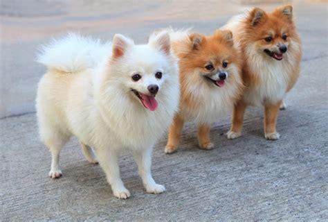 dogs that look like pomeranians pomeranian dogs puppies pet symptoms breeds