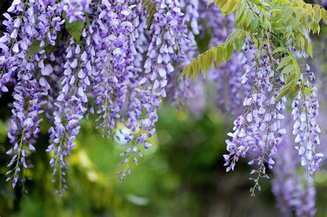 wisteria flower free photo acacia glycine wisteria flowers free