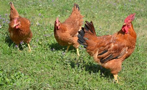 best chickens for backyard the best backyard chickens for the grid news