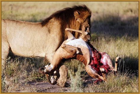imágenes de leones juntos imagenes de un leon comiendo archivos imagenes de leones