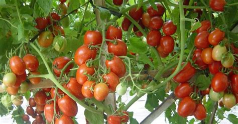 agroplus media menanam tomat  dataran rendah terbukti