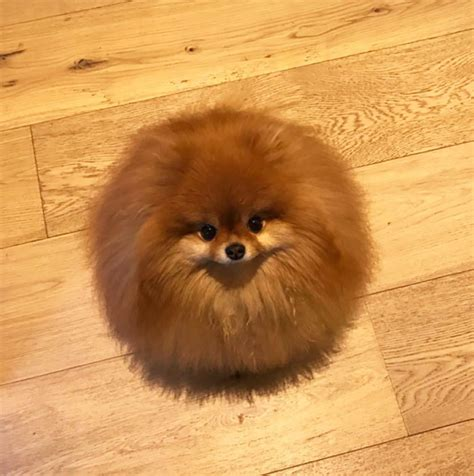 panda pomeranian did you that pomeranians melt in water this owner learned it the way
