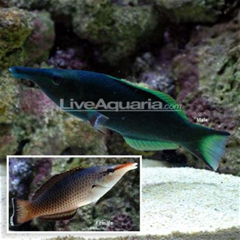 green bird wrasse flickr photo sharing 1000 images about fowlr tank on pinterest powder