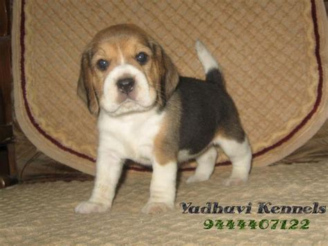 cost of pug in india beagle puppies at chennai breeds picture