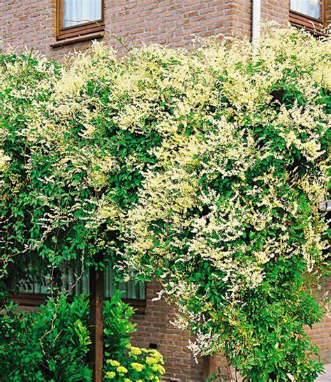 kletterpflanze schattig winterhart kn 246 terich kletterpflanzen bei baldur garten