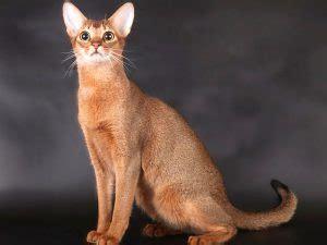 appuntamento apple store porta di roma il gatto abissino il progenitore delle razze feline