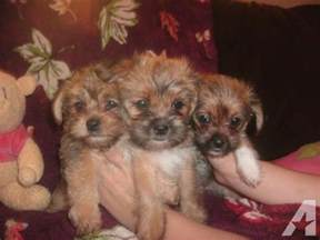 tiny shorkie puppies they are non shed for sale in