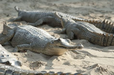 Alligator Vs. Crocodile: Here's a Detailed Comparison With ...