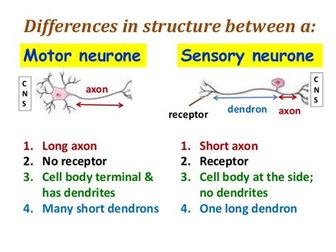 sensory motor and mixed nerves what is the difference between sensory nerves and motor