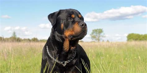 rottweiler puppies new rottweiler puppies for sale
