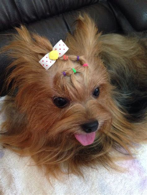 yorkie splash and shine uk 25 best ideas about yorkie hairstyles on yorkie hair cuts