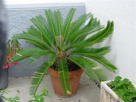 while not a palm this showy plant has large bright green sago palm growing and care for your cycas revoluta