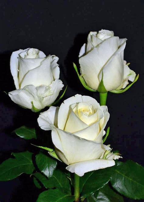 white chocolate roses metropolitan wholesale