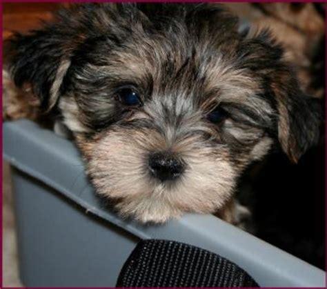 yorkies in iowa yorkie mixed puppies in iowa breeds picture
