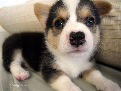pembroke corgi puppies pembroke corgi puppy