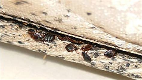 bed bug treatment nyc bed bug blog learn how to get rid of bed bugs