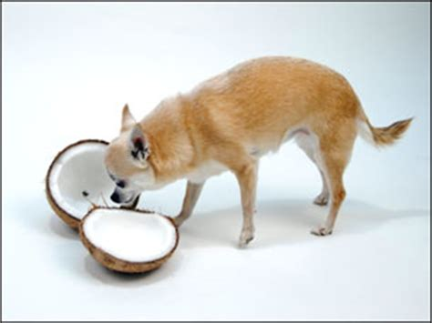 how much coconut for dogs hwnl 10 4
